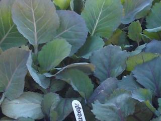 Grim's Greenhouse Per Fection Cabbage