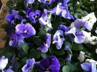 Grim's Greenhouse purple, white flowers