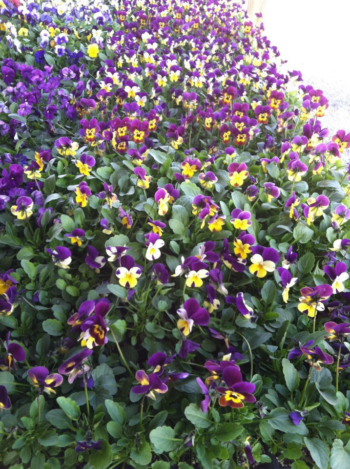 Grim's Greenhouse large bush of purple and yellow flowers