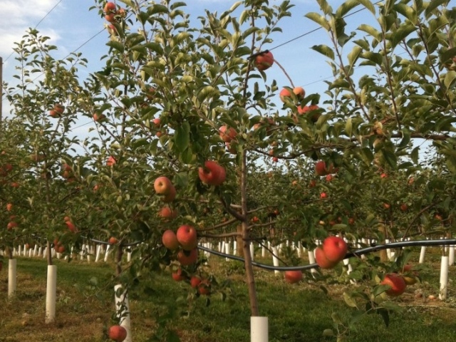 Grim's Greenhouse Bukeye Gala Apples in trees