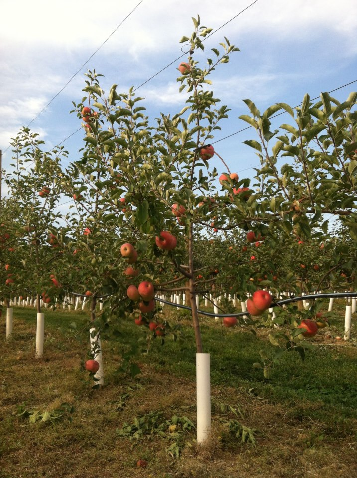 Grim's Greenhouse Bukeye Gala Apple Trees