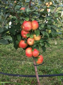 Grim's Greenhouse Bukeye Gala Apple Tree
