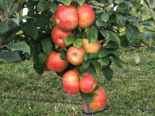 Grim's Greenhouse Bukeye Gala Apple Tree