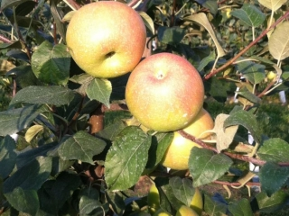 apples in the evening