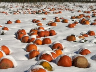 Grim's Greenhouse Pumpkins Patch in the snow, family orchard Breinigsville pa, family orchard allentown pa, family orchard bethlehem pa, corn maze Breinigsville pa, corn maze allentown pa, corn maze bethlehem pa, pumpkin picking Breinigsville pa, pumpkin picking allentown pa, pumpkin picking bethlehem pa, apple picking Breinigsville pa, apple picking allentown pa, apple picking bethlehem pa, hay rides Breinigsville pa, hay rides allentown pa, hay rides bethlehem pa, apple orchard Breinigsville pa, apple orchard allentown pa, apple orchard bethlehem pa