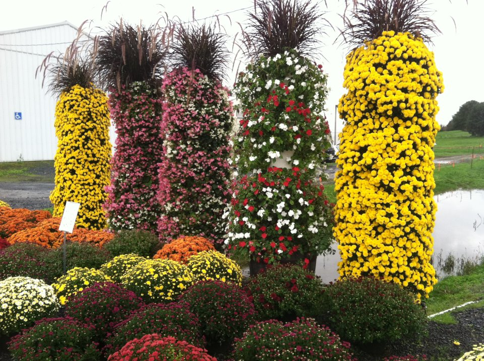 towers of mums