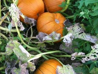Grim's Pumpkin patch