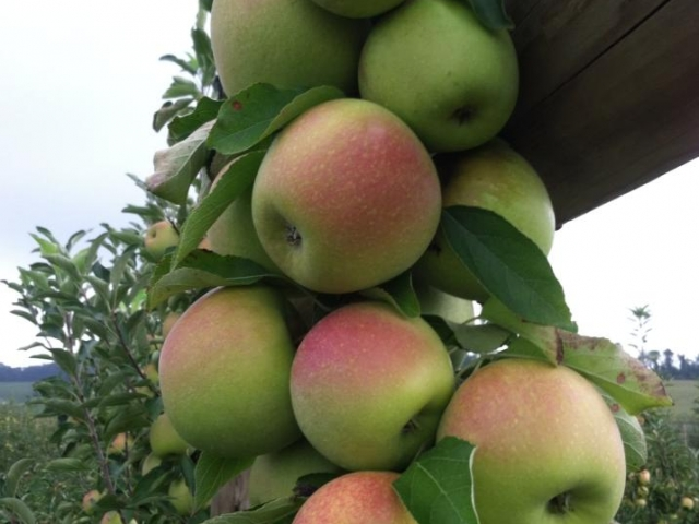 Grim's Greenhouse Green apples hanging from tree