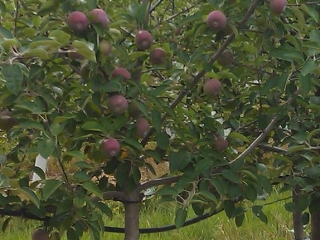 Grim's Greenhouse apple tree
