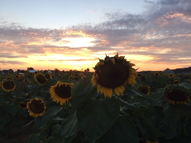 the sunflower experience at evening