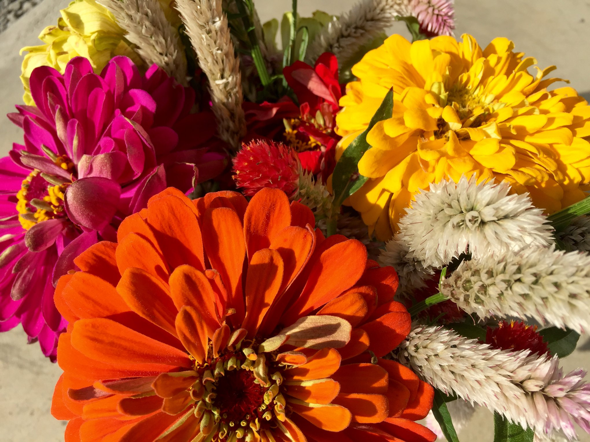 Pick beautiful zinnias during our zinnia experience at Grim's Orchard in Breinigsville PA