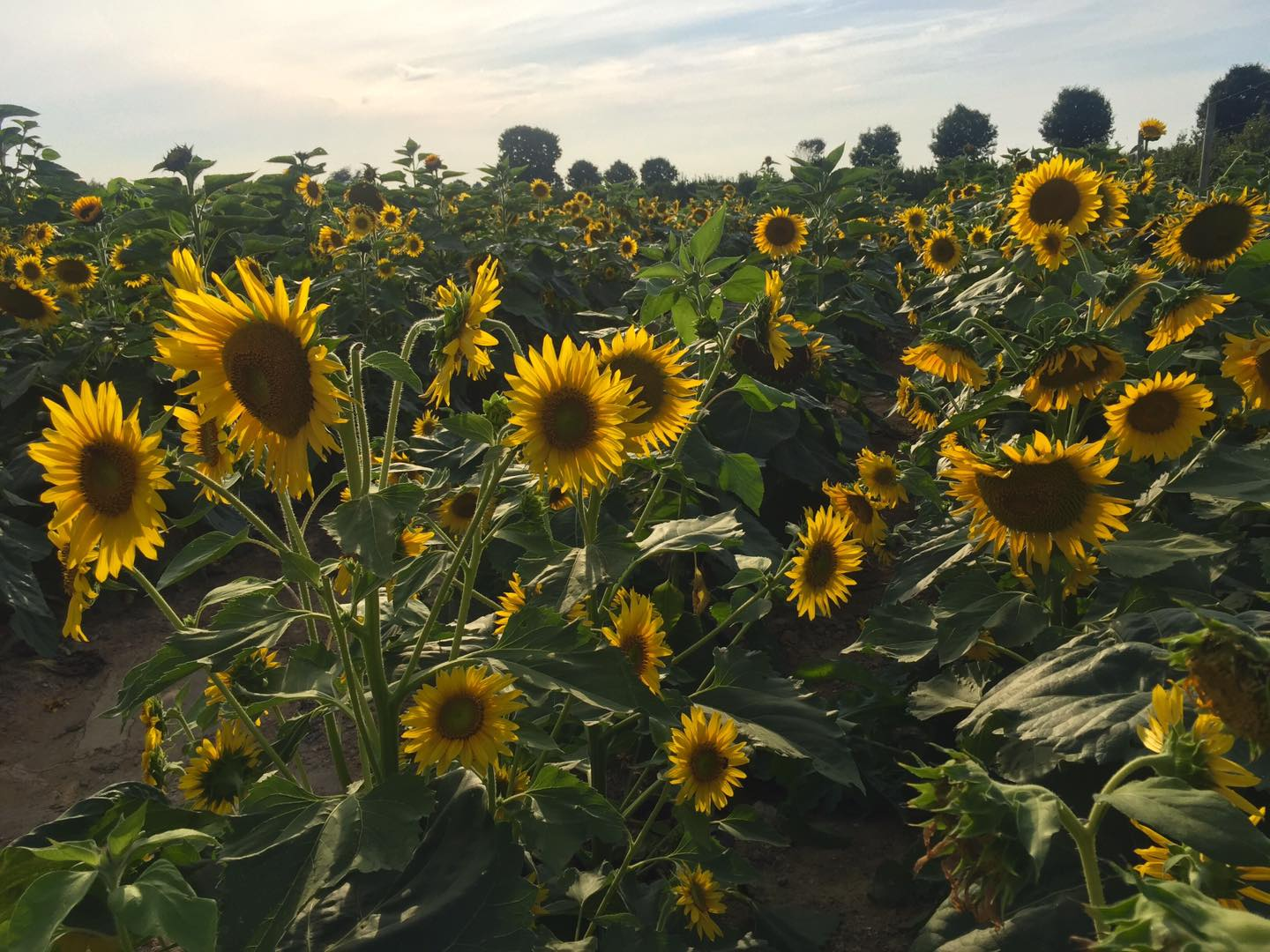 summer attractions showcasing a field of sunflowers from Grim's - flower picking and cut flowers