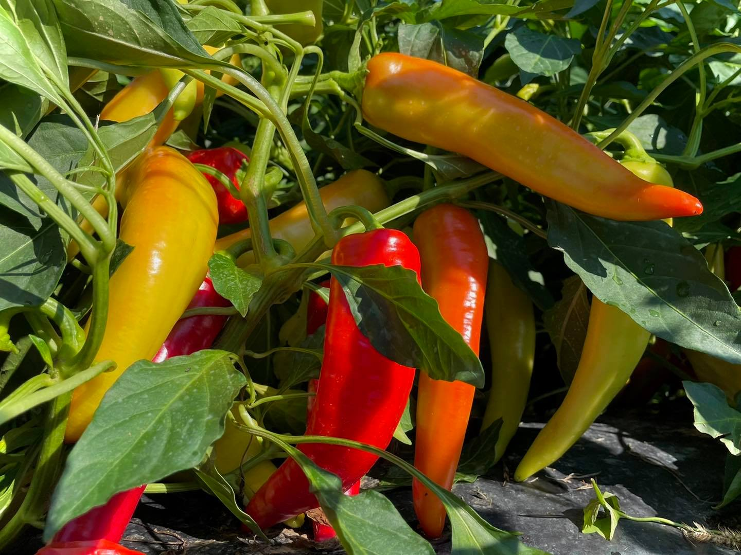 Grims Orchard & Family Farm pick your own peppers and vegetables
