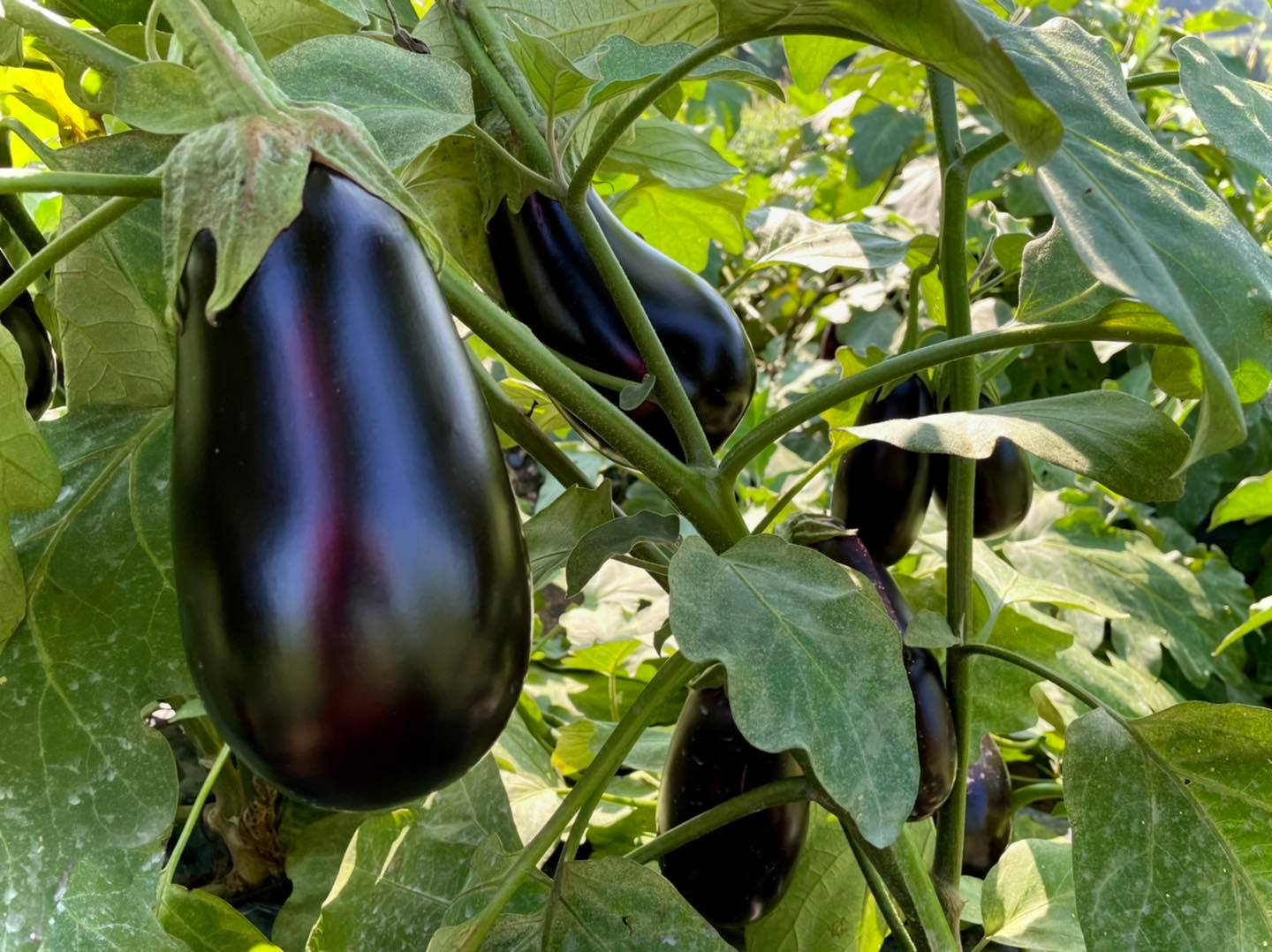 Grims Orchard & Family Farms pick your own eggplants and other vegetables